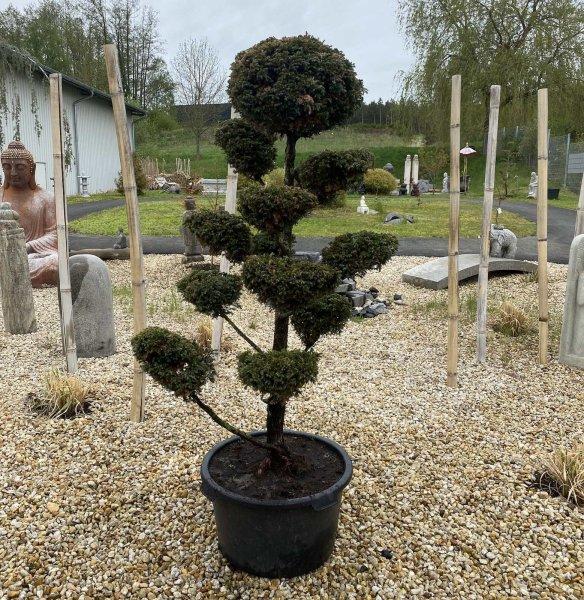 Nikwaki Garten Bonsai Baum 190cm Chamaecyparis pisifera Boulevard